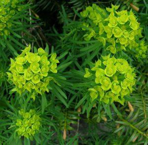 Молочай обыкновенный (Euphorbia esula)