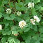 Клевер ползучий (Trifolium repense)